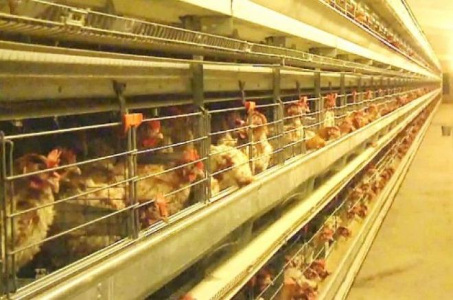 В отношении руководства «Тольяттинской птицефабрики» возбуждено уголовное дело