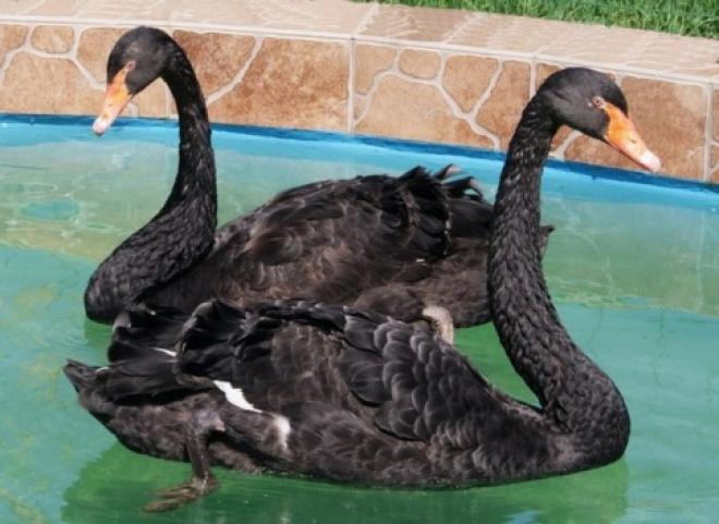 В Самарском зоопарке у пары черных лебедей ввпервые за 8 лет вылупился птенец